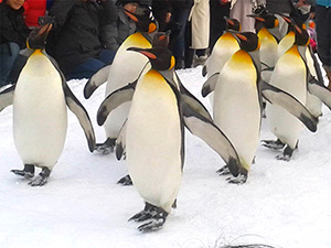 ペンギン、歩く
