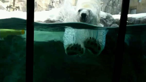 白熊のダイブ!!