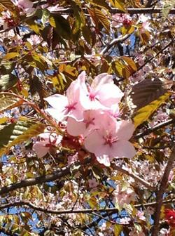 やっと桜が満開!!!
